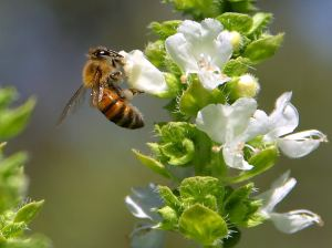 Bee on basil plant