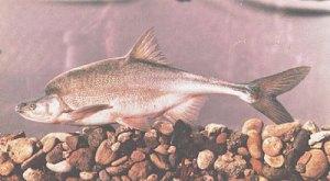 ancient endangered humpbach chub