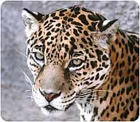 Jaguar, Pantera onca arizonensis
