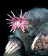 Star-nosed mole, Condylura cristata