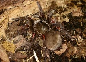 birdeating spider(tarantula)