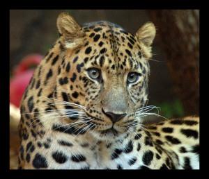 amur_leopard_1970226951free1