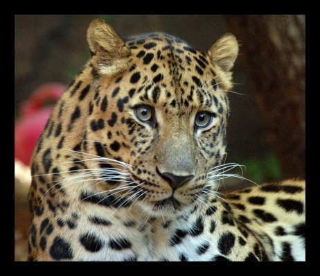 amur_leopard_1970226951free1.jpg?w=462&h=399