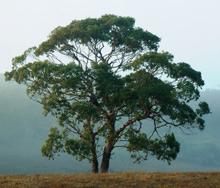 eucalyptus_tree_2_220