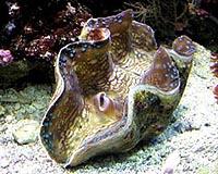 giant-clam-bg