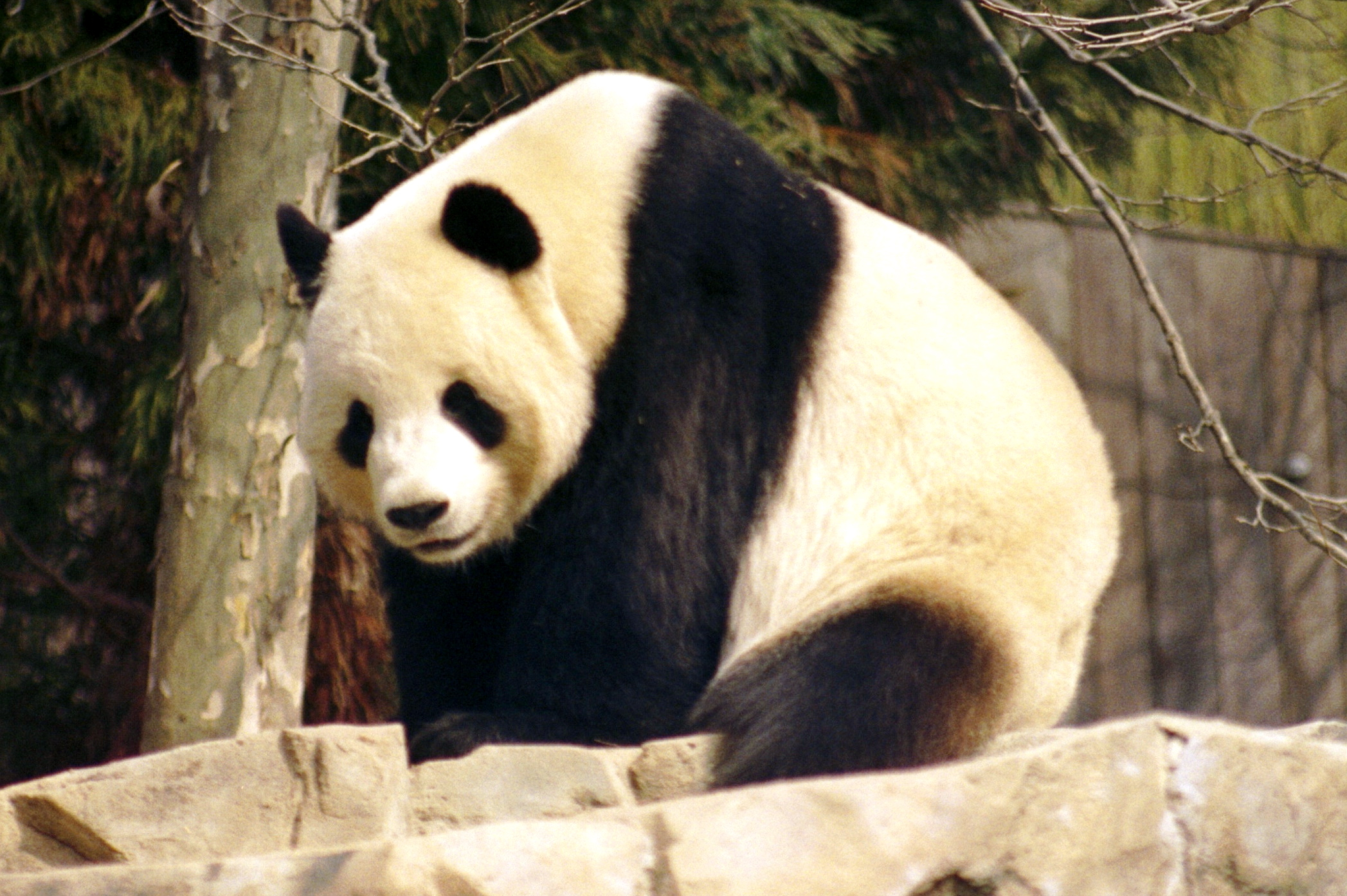 http://naturescrusaders.files.wordpress.com/2008/11/giant_panda_2004-03-2.jpg