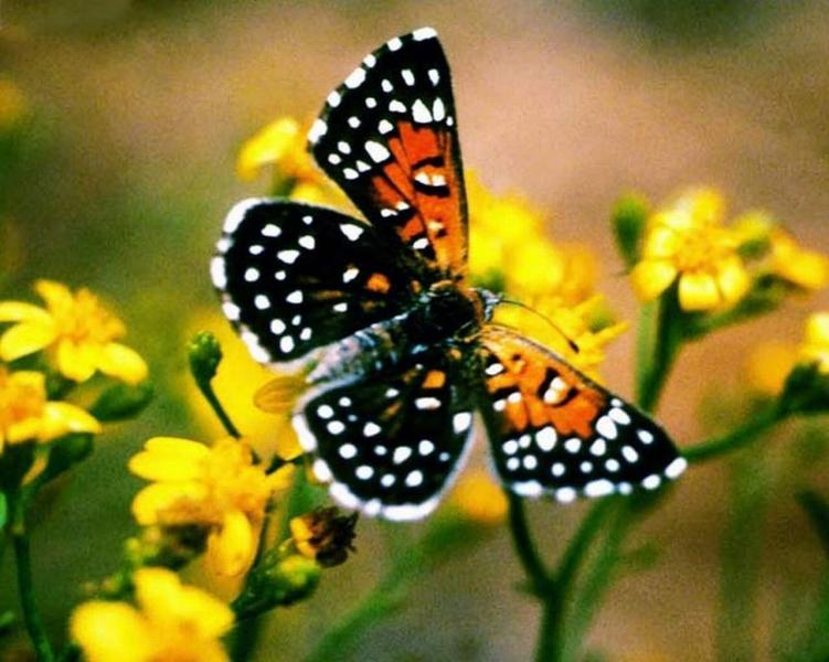 endangered lange s metalmark butterfly gets by with help of friends nature 39 s crusaders. Black Bedroom Furniture Sets. Home Design Ideas