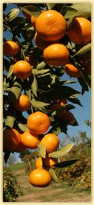 mandarins_03