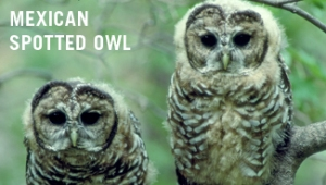 mexicanspottedowl_crobinsilver