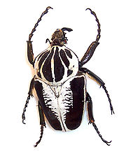 180px-goliath_beetle