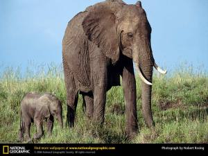african-elephant1