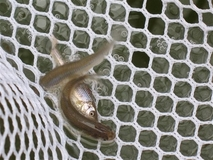 Endangered Minnow Release