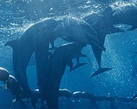 dolphins-purse-seine-net-bg