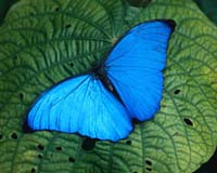 peru-butterfly-blue-morpho-insect-bg