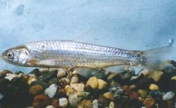 photo-silvery-minnow-fwsjpeg1