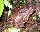 poispn-frog