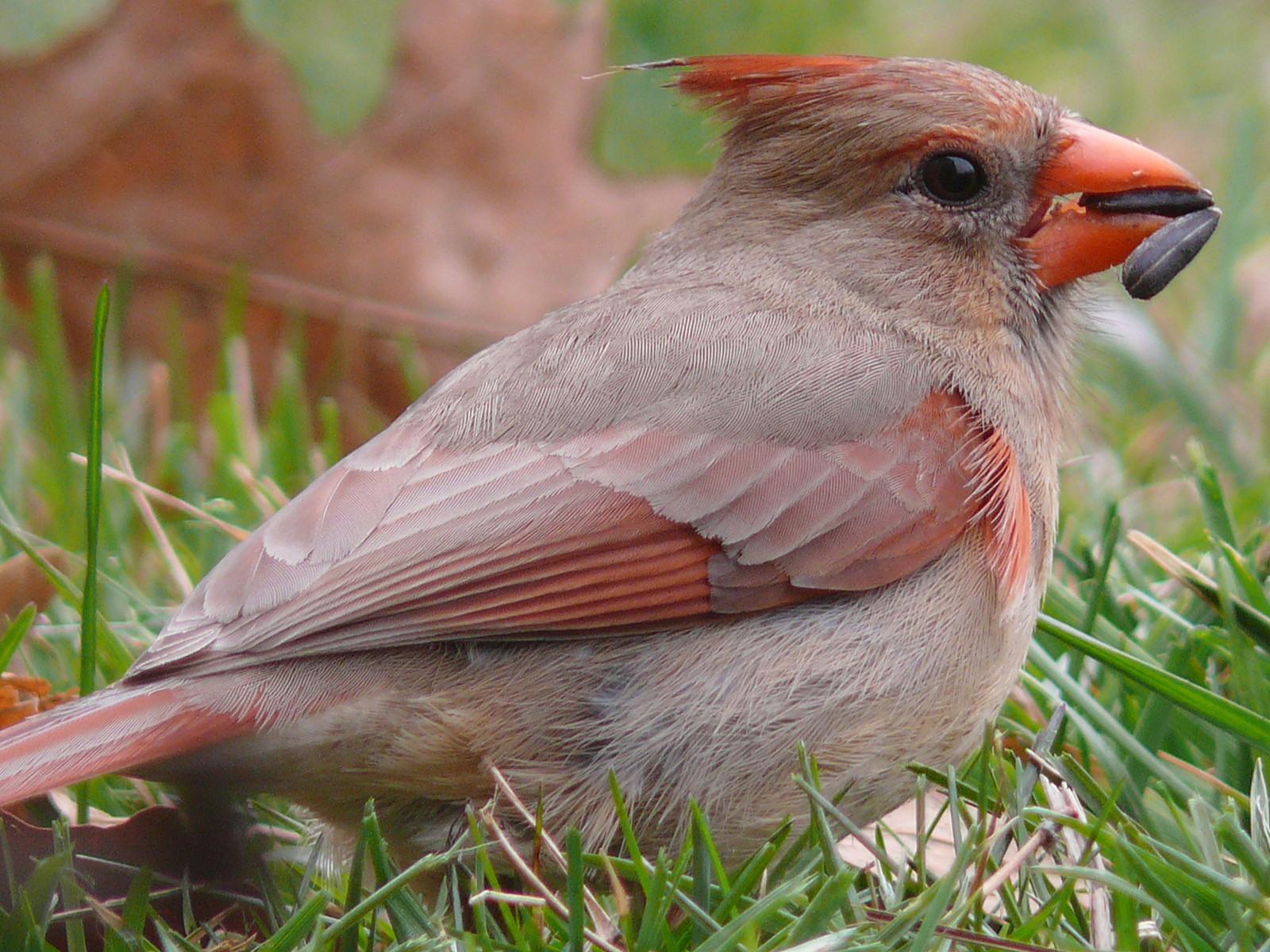 Cardinal - Canción de América Birdseed