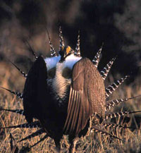 2sage-grouse-puffed_mt-wy-co