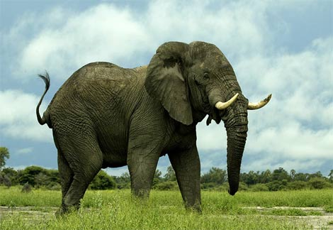 http://naturescrusaders.files.wordpress.com/2009/01/african-elephant2.jpg