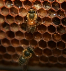 disappearing honey bees Disappearing bees: colony collapse disorder (ccd                 animalshowstuffworkscom/insects/bee8htm.