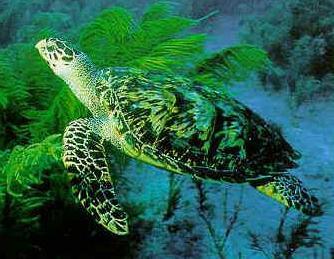 hawksbill_turtle_uwater