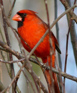 northern_cardinal_male-275271
