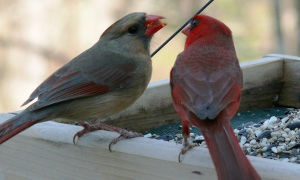 northern_cardinal_pair-27527