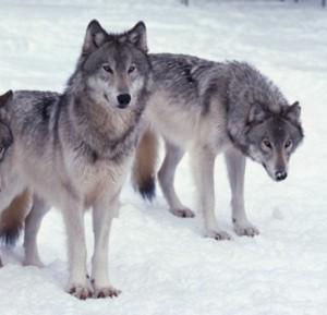 wolvesjp
