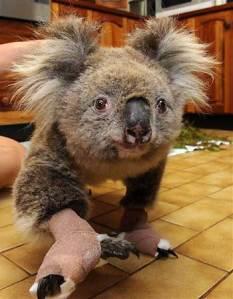0_21_021109_koala