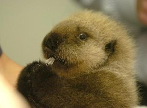 baby_otter_12a