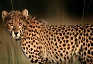 cheetah-closeup2