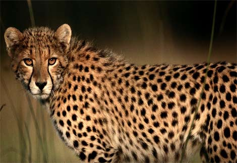 cheetah-closeup2