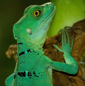 female-green-blizard