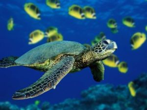 gex_green-sea-turtle