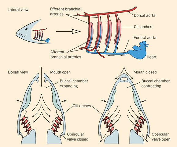 A lab report on the three different types of gills as vital part of the respiratory system of fish