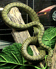 Snakes that glide better than flying squirrels » golde