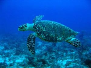 hawksbill_turtle2