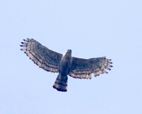 javan-hawk-eagle-final