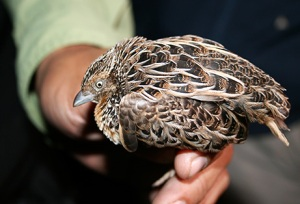 luzon_buttonquail1
