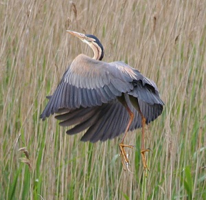 mins-purple-heron