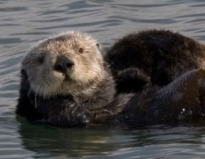 sea_otter_cropped1