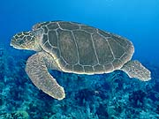 turtle_loggerhead_sea