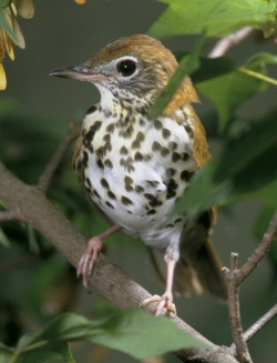 woodthrush792