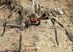 250px-wandering_spider