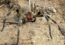 250px-wandering_spider