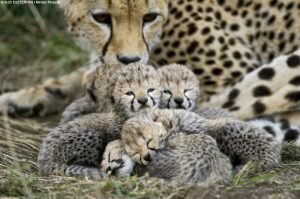 cheetah mom's devotion to cubs