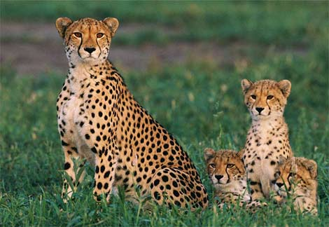http://naturescrusaders.files.wordpress.com/2009/03/cheetah-cubs.jpg