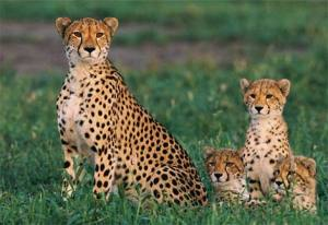 Cheetah mom with triplet cubs
