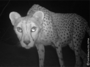 cheetah1_copyright__f_belbachir-1