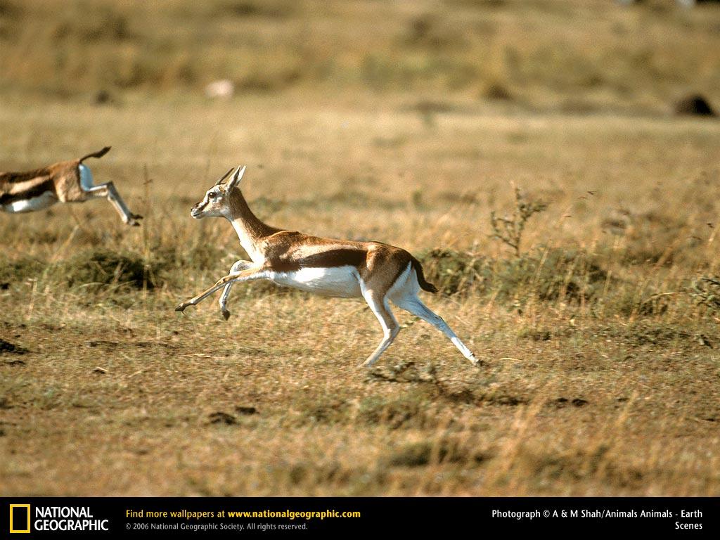 Gazelle Running From Cheetah